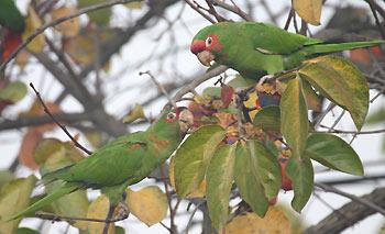 Parrots1126